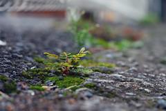 (  / Yorozuna) Tags:    weed grass plant   green yellowgreen color    akebonobashi  wakamatsukawada  shinjukuward  tokyo japan pentaxautotakumar55mmf18