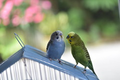Lem and Bloo (100-yearstolive) Tags: parakeet budgie