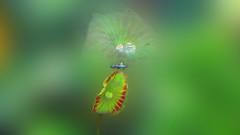 2015-11-10 10.01 (Vivian Chong FY) Tags: lotus dragonfly waterdrop nature naturephotography pond