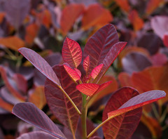 New Growth (ZoRM Photography) Tags: new growth shrub bush leaves plant red spring purple