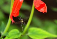 Vespando (Lucian Crispim) Tags: animal inseto bee vespa