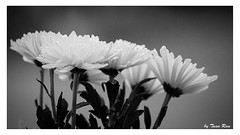 SHF_5136_Flowers (Tuan Ru) Tags: 1dmarkiii 14mm 100mm 135mm 1d 1dx 2016 2470mm 50mm 70200mm canon canon1d canoneos1dmarkiii canoneos1dx flowers hoa bw black blackandwhite white entrng en envtrng trng tuanrau tuan ru