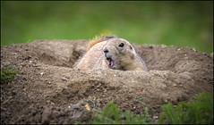 Prairie dog (Darwinsgift) Tags: marmot prairie dog mammal rodent ground shepreth wildlife park england nikkor 200500mm f56 e