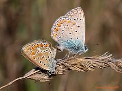 Polyommatus icarus (giancarlo.paganelli47) Tags: polyommatus icarus common blue mating macro farfalla butterfly schmetterling papillon mariposa    lepidotteri lepidoptera