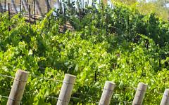 IMG_3752 (kz1000ps) Tags: tour2016 california sanfrancisco bayarea saratoga mountainwinery vineyard siliconvalley aerial vista skyline wine plants america unitedstates usa scenery landscape
