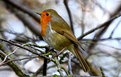 Robin. (cjf3 - f15tog) Tags: uk winter robin canon garden wildlife 7d canon70200f4l me2youphotographylevel2 me2youphotographylevel3 me2youphotographylevel4