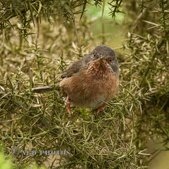 Dartford Warbler (Nigel Dell) Tags: summer birds flickr wildlife dartfordwarbler ngdphotos
