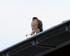Sperwer / Sparrow hawk / Accipiter nisus (heidiii78) Tags: vogels
