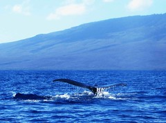 Pacific Humpback Whale (Megaptera novaeangliae) (peggyhr) Tags: friends sky clouds island tail maui pacificocean showroom soe lanai whalewatching megapteranovaeangliae finegold thegalaxy nationalgeographicareyougoodenough peggyhr heartawards myfriendspictures thebestshot 100commentgroup flickraward mygearandme blinkagain level1photographyforrecreation photohobbylevel1 hawaiioceanrafting flickrstruereflection1 flickrstruereflection2 cwwvg thesunshinegroup sunrays5 thelooklevel1red thelooklevel2yellow thelooklevel3orange thelooklevel4purple thelooklevel5green thelooklevel6blue level2photographyforrecreationsilveraward niceasitgets~level1 pacifichumpbackwhale img3712a