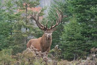 Quebec Elk & Red Stag Hunt 40