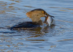 Merganser (snooker2009) Tags: blue fish bird nature water birds outdoors duck fishing wildlife getty migration waterfowl merganser thewonderfulworldofbirds photocontesttnc11 dailynaturetnc12 photoofthedaynwf12