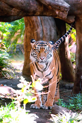 Indah  - The Beauty in the Woods (Sumatra-Tiger) Tags: portrait toronto animal cat wonderful asian zoo tokyo spain mr ueno kali tiger anger dating beast date indah aggressive tijger carnivorous tigris tigre bigcats pms sumatran fuengirola hypnotic the spaniard  predetor uenozoologicalgardens flesheating amanandawoman sumatratiger tygr tiikeri  unhommeetunefemme pantheratigrissumatrae sumatraansetijger angrytiger rengat asiancat brytne likesomeoneinlove tigredesumatra unuomounadonna khunde  sumatrantiikeri flickrbigcats harimausumatera   unhombreyunamujer sumatrakaplan tygrsumatersk tygryssumatrzaski tigercouple  szumtraitigris       hsumatra einmannundeinefrau enmanochenkvinna sumatrantigercouple