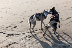 19/01/2013 Coxyde - Sled Dog (Philippe Clabots (#PhilippeCPhoto)) Tags: sea chien mer beach sports sport strand coast husky belgique zee musher mushing sleddog snowdog westhoek koksijde coxyde slegdog