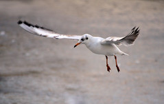 ~ Gull in Action ~ (Ruth S Hart) Tags: uk gull flight 28 essex scavenger projectflickr thebistro writtle thewonderfulworldofbirds {explored} nikond5100