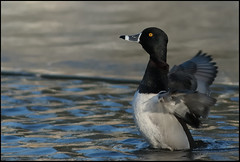 Ring-necked Duck (Mark Schwall) Tags: male bird duck newjersey nikon nj ringneckedduck waterfowl oceancounty aythyacollaris tomsriver d300s nikkor600mmais