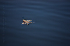 Staying Afloat (Denise Worden) Tags: winter water leaf floating solitary inaginefotocom