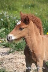 Icelandic Baby Horse (Rolandito.) Tags: horse baby island iceland fowl pferd sland fohlen islandpony
