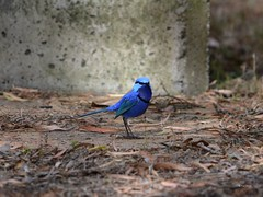 Blue Wren (Brown feet) Tags: birds westernaustralia bluewren