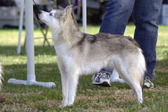 Mystique (Alexandra Kimbrough) Tags: show dog toy miniature husky pentax huskies event kai klee alaskan ukc conformation akk
