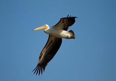 Rosy pelican (Raghuvir solanki) Tags: allofnatureswildlifelevel1 allofnatureswildlifelevel2 bhavnagartrip