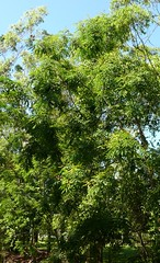 Adenanthera pavonina Airlie Beach Park P1130643 (Steve & Alison1) Tags: tree flowering airliebeach mimosaceae redbeadtree arfp adenantherapavonina australianrainforestplants adenanthera qrfp galleryarf lowlandarf