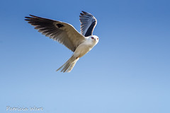 An Angel with Red Eyes (Patricia Ware) Tags: california canon ngc handheld playadelrey whitetailedkite elanusleucurus allrightsreserved specanimal ballonawetlandsecologicalreserve avianexcellence patriciaware sunrays5