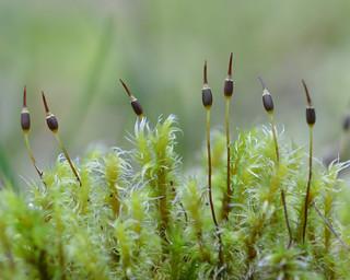 Niphotrichum elongatum (long rock-moss)