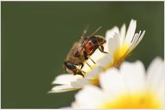 Polinización 1 Feb13 (lanzarote rural) Tags: mariposasenlanzarotefeb13