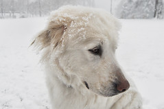 Bianco neve - White snow. (sinetempore) Tags: dog white snow animal cane fur neve whitesnow bianco animale pelo pastoremaremmano bianconeve mygearandme