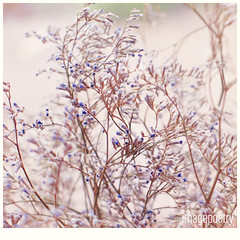 012 (imagepoetry) Tags: flower nature beauty season 50mm focus soft bokeh sony a65 imagepoetry sonyalpha