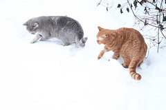 034 (piaktw) Tags: winter playing cat kitten sweden britishshorthair got luddkolts zigne bluetortiespotted