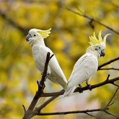 Cockatoo Pair With Crest Raised ( Boti) Tags: bird animal yellow closeup outdoors photography hongkong nikon couple day branch wildlife ngc cockatoo animalsinthewild yellowcrestedcockatoo wildbird animalthemes specanimal d7000 hongkongwildlife imagesforthelittleprince visionquality100