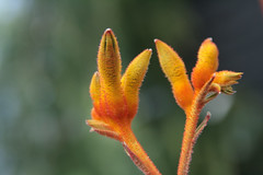 kangaroo paw (jypsygen) Tags: orange flower macro floral yellow garden outdoors amber dallas colorful soft texas dof bright fuzzy blossom native bokeh nursery blossoms australian australia velvet depthoffield bloom buds dfw bud humilis common catspaw kangaroopaw tuberous anigozanthos haemodoraceae bloodwort nicholsonhardie ambervelvet