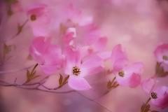 Pink Dogwood (autumnwaters) Tags: pink flowers focus soft dof bokeh cornusflorida simplyflowers floweringdogwood amazingdetails persephonesgarden