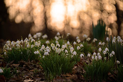 Snowdrops (Dyker_The_Horse) Tags: flowers nature snowdrops snowdrop d800