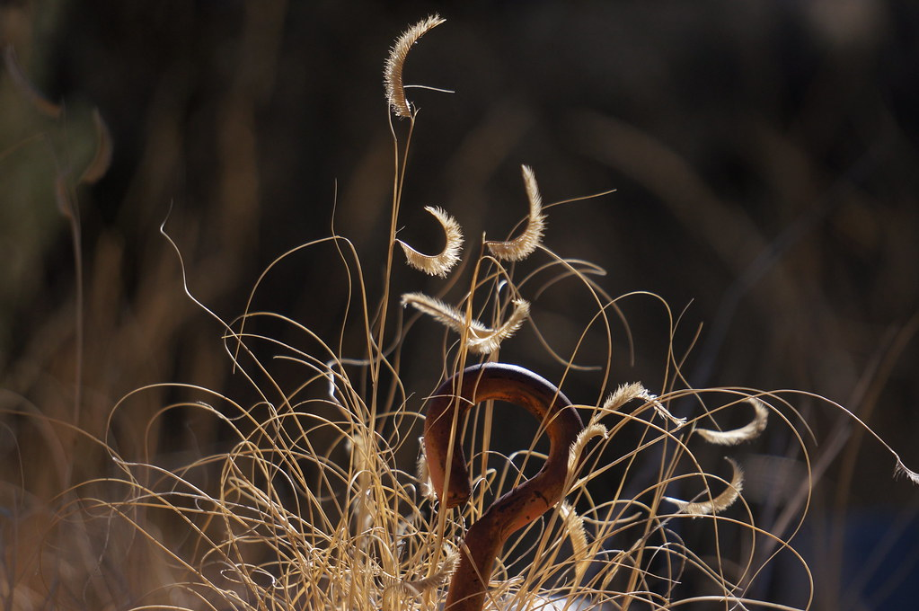 The official New Mexico state grass, Blue Grama Grass (Bouteloua gracillis).