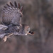 Great Gray Owl... #1