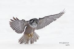 Northern Hawk Owl (Steve Gilchrist) Tags: winter wild snow ontario canada cold bird birds canon hawk  hamilton s raptor 7d owl northern sg bif gilchrist wildbirds northernhawkowl 2013