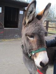 UK - London - Rotherhithe - Surrey Docks Farm - Donkey (JulesFoto) Tags: uk england london donkey rotherhithe ramblers thamespath cityfarm surreydocksfarm londonstrollers