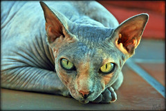 SKYE  (mutter2009 *OFF*) Tags: skye coth nakedcats nikond60 sphynxcats hairlesscats kittysuperstar kissablekat blueandcream bestofcats alittlebeauty