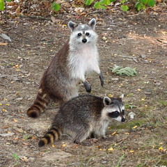 Mother and Child (Raccoon Photo) Tags: park ohio wild summer baby lake reflection cute nature water face animal animals wow pose walking found hands perfect child faces hiking walk unique critter wildlife exploring mother adorable posing optical hike illusion precious coon friendly albino coloring critters unusual raccoon caughtintheact onceinalifetime striking creatures cuties rare raccoons markings motherandchild claws bandits rareanimal banditos rarity timing coons cuteanimals unmasked metropark qts hinckley metroparks animalportrait trotting perfecttiming babyraccoon albinoanimal unusualanimal raccoonfamily unusuallooking motherandchildanimals unmaskedraccoon unususalcoloring