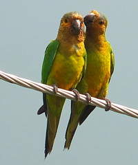 Brown-throated Parakeet (Aratinga pertinax) (2mag7- non-stop catching up!) Tags: southamerica birds parrot suriname monplaisir paramaribo brownthroatedparakeet aratingapertinax