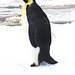 <p>A special tag attached with seawater-resistant glue will provide data about this emperor penguin's movements for almost a year. Photo: Jerry Kooyman.</p>