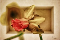 Un fiore per te (Gianni Armano) Tags: flower against for la photo women foto you un le violence donne te fiore per towards gianni verso violenza contro armano