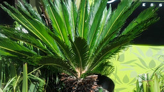 Sago Palm (Finatic 's iNaturalist Stream) Tags: wild sandiego wildlife diego sagopalm finatic