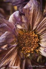 Long Dead Flowers (Cody Lee Dopps) Tags: flowers macro dead wilted dying