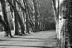 Platanenallee (Thilo Schmautz) Tags: allee platanen platanenallee