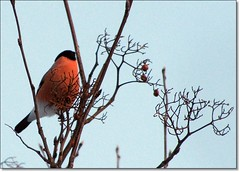 Vinterhlsning / Regards in winter (HJsfoto) Tags: winter birds rowan soe bullfinch boden musictomyeyes potofgold rnn domherre mywinners