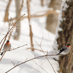 2 (a tile of #bird & Eurasian_Bullfinch) (yannma) Tags: bird eurasianbullfinch