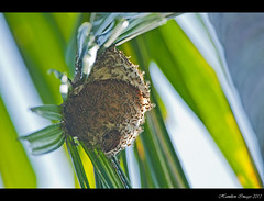 Wasp Nest In Palm Tree (Hamilton Images) Tags: canon insect march wasp nest honduras laceiba palm 500mm 2013 14xteleconverter img2419 picobonitolodge 5dmarkii